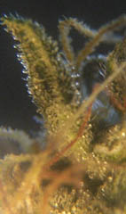 Close up of some trichomes